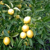 Limon – Citrus medica ssp limonum