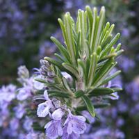 Biberiye – Rosmarinus officinalis