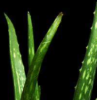 Aloe Vera – Aloe vera L.