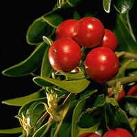 Ayı Üzümü – Arctostaphylos uva-ursi