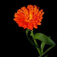 Aynısafa – Calendula officinalis