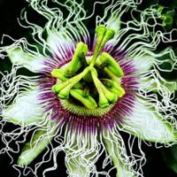 Çarkıfelek – Passiflora edulis