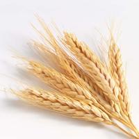 Buğday Proteini – Triticum vulgare